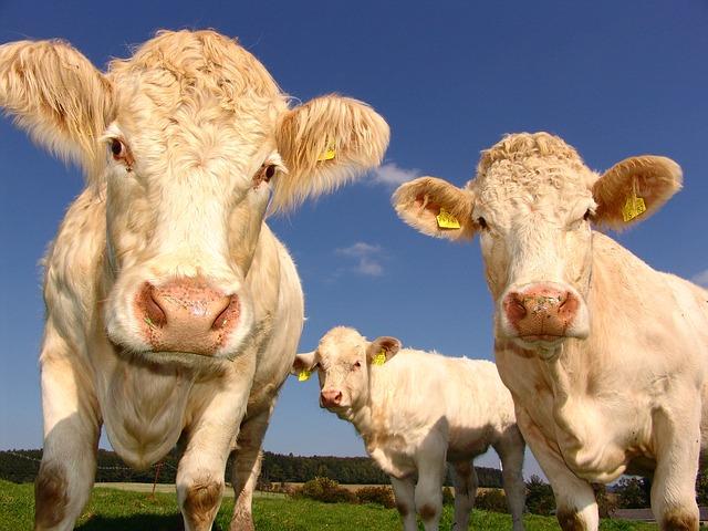écorner les bovins pour plus de sécurité
